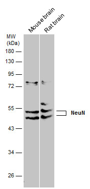 Various tissue extracts (50 μg) were separated by 10% SDS-PAGE, and the membrane was blotted with NeuN antibody (GRP620) diluted at 1:1000.