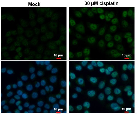 p53 antibody detects p53 protein at nucleus by immunofluorescent analysis. Samples: HCT 116 cells mock (left) and treated with 30 ?M Cisplatin for 24 hrs (right) were fixed in 4% paraformaldehyde at RT for 15 min.Green: p53 protein stained by p53 antibody