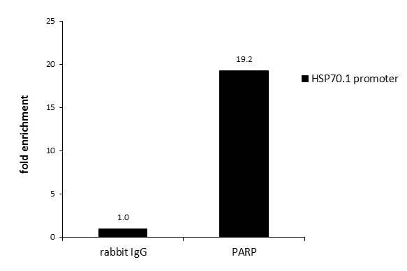 ChIP was performed with HeLa chromatin extract  and 5 μg of either normal rabbit IgG or anti-PARP antibody. The precipitated DNA was detected by PCR with primer set targeting to HSP70.1 promoter.