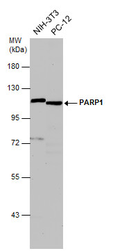 Various whole cell extracts (30 μg) were separated by 7.5% SDS-PAGE, and the membrane was blotted with PARP1 antibody [N2C1], Internal (GRP506) diluted at 1:500. The HRP-conjugated anti-rabbit IgG antibody  was used to detect the primary antibody.