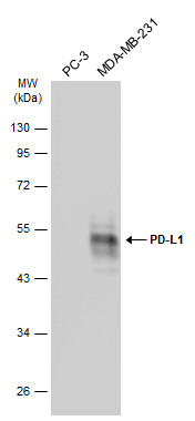 Various whole cell extracts (30 μg) were separated by 10% SDS-PAGE, and the membrane was blotted with PD-L1 antibody (GRP487) diluted at 1:2000. The HRP-conjugated anti-rabbit IgG antibody  was used to detect the primary antibody, and the signal was de
