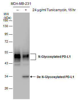 Untreated (–) and treated (+) MDA-MB-231 whole cell extracts (30 μg) were separated by 10% SDS-PAGE, and the membrane was blotted with PD-L1 antibody (GRP487) diluted at 1:1000.