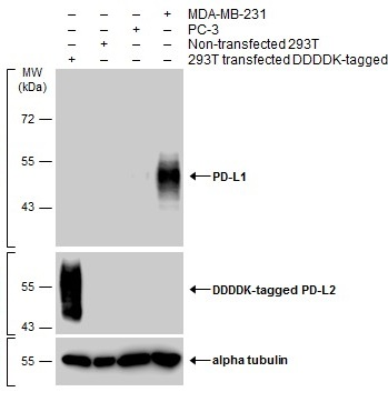 Various whole cell extracts were separated by 10% SDS-PAGE, and the membranes were blotted with PD-L1 antibody (GRP487) diluted at 1:600 and with DDDDK tag antibody (GRP487) diluted at 1:3000 to detect DDDDK-tagged PD-L2. The HRP-conjugated anti-rabbit Ig