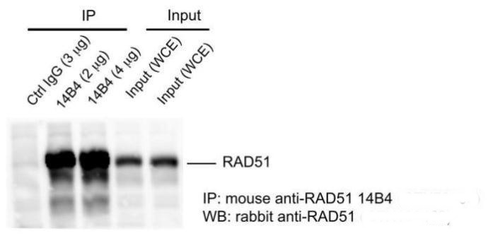 Mouse anti-RAD51 14B4 antibody  (GRP542) was used in IP assay (immunoprecipitation) using HeLa cell extract prepared with lysis 180 buffer (40 mM Tris-HCl pH8.0,  180 mM NaCl, 1 mMEDTA, 0.5% NP-40).Rabbit anti-RAD51 antibody (GRP542) was used for subseque