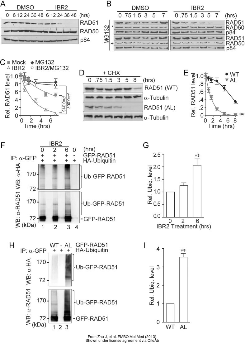 The WB analysis of Rad51 antibody [14B4] was published by Zhu J and colleagues in the journal EMBO Mol Med in 2013.PMID: 23341130