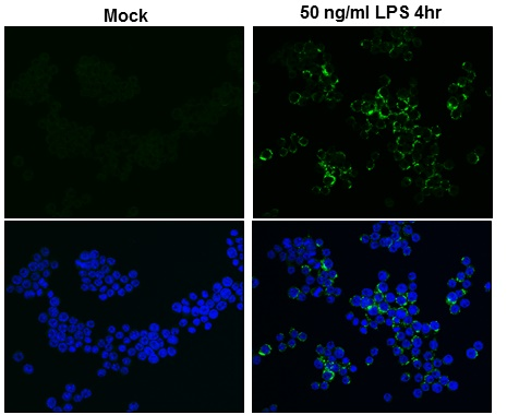TNF alpha antibody detects TNF alpha protein at cytoplasm by immunofluorescent analysis.Sample: Raw264.7 cells were fixed in 4% paraformaldehyde at RT for 15 min.Green: TNF alpha protein stained by TNF alpha antibody (GRP497) diluted at 1:500.Blue: Hoechs