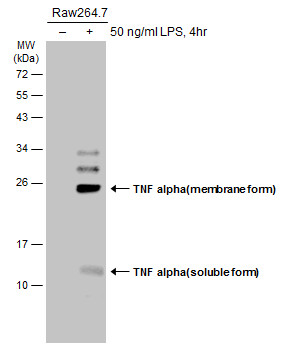 Untreated (–) and treated (+) Raw264.7 whole cell extracts (30 μg) were separated by 12% SDS-PAGE, and the membrane was blotted with TNF alpha antibody (GRP497) diluted at 1:1000. The HRP-conjugated anti-rabbit IgG antibody  was used to detect the pr