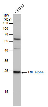 TNF alpha antibody detects TNF alpha protein by western blot analysis. Whole cell extracts (30 μg) was separated by 12% SDS-PAGE, and the membrane was blotted with TNF alpha antibody (GRP497) diluted at 1:500. The HRP-conjugated anti-rabbit IgG antibod