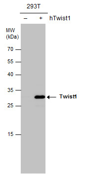 Twist1/2 antibody detects Twist1 protein by western blot analysis. Non-transfected (-) and Twist1-transfected (+) 293T whole cell extracts (30 μg) were separated by 12% SDS-PAGE, and the membrane was blotted with Twist1/2 antibody (GRP518) diluted at 1