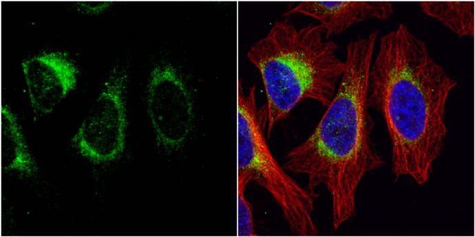 Tyrosine Hydroxylase antibody [N1C1] detects Tyrosine Hydroxylase protein at cytoplasm by immunofluorescent analysis.Sample: HeLa cells were fixed in 4% paraformaldehyde at RT for 15 min.Green: Tyrosine Hydroxylase protein stained by Tyrosine Hydroxylase