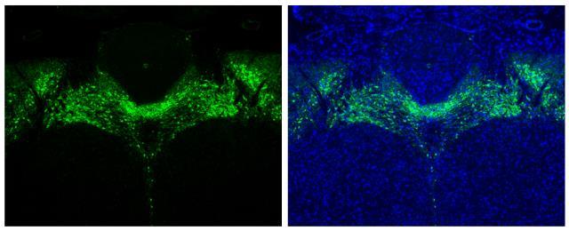 Tyrosine Hydroxylase antibody [N1C1] detects Tyrosine Hydroxylase protein in midbrain dopaminergic neurons by immunohistochemical analysis.Sample: Paraffin-embedded mouse brain.Green: Tyrosine Hydroxylase stained by Tyrosine Hydroxylase antibody [N1C1] (G