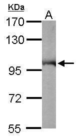 Sample (50 μg of whole cell lysate)  A: Mouse brain  7.5% SDS PAGE  GRP552 diluted at 1:10000 The HRP-conjugated anti-rabbit IgG antibody  was used to detect the primary antibody.