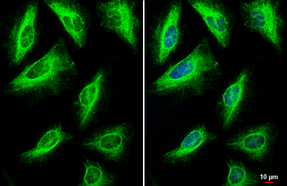 Vimentin antibody detects Vimentin protein at cytoskeleton by immunofluorescent analysis.Sample: HeLa cells were fixed in 4% paraformaldehyde at RT for 15 min.Green: Vimentin stained by Vimentin antibody (GRP465) diluted at 1:500.Blue: Hoechst 33342 stain