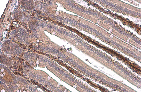 Vimentin antibody detects Vimentin protein at cytoplasm by immunohistochemical analysis.Sample: Paraffin-embedded mouse intestine.Vimentin stained by Vimentin antibody (GRP465) diluted at 1:500.Antigen Retrieval: Citrate buffer, pH 6.0, 15 min